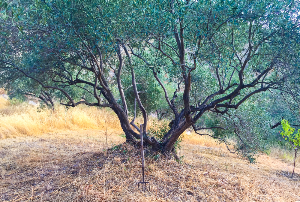 The Garden Resort Olive tree